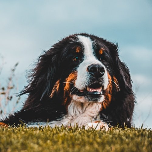 Top Dog Breeds For Men Bernese Mountain Dog