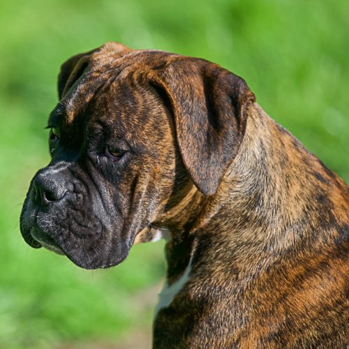great dog breeds for men - boxer