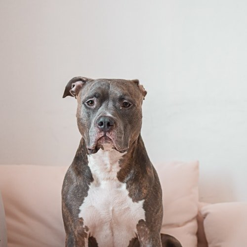 Pitbull Best Dog Breed For Men