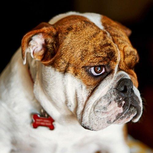 Top Dog Breeds For Man American Bulldog