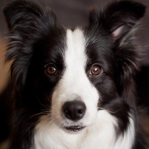 Top Dog Breeds For Men Border Collie